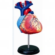 Anatomie člověka - srdce