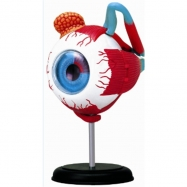 Anatomie člověka - oko