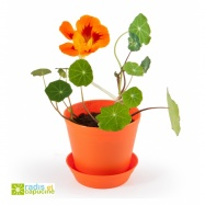Mini zahrádka - Květináč Bell s lichořeřišnici